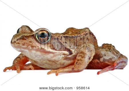 shot of a frog isolated on white background poster
