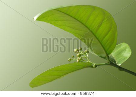 Blooming Lemon