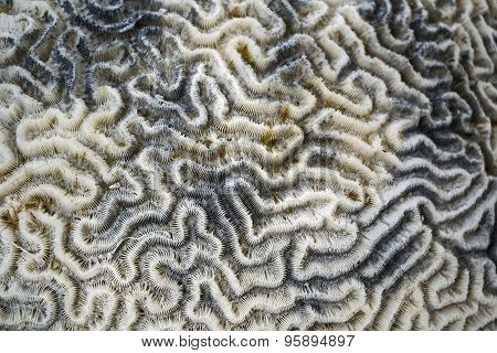 Brain Coral Background Pattern