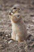 prairie dog eating - the small prairie dog lives in the grassland of north america poster