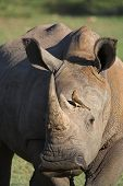 close up of a white rhino with an oxpecker searching for ticks poster