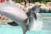 two beautiful dolphins jumping out of the water simultaneously. poster
