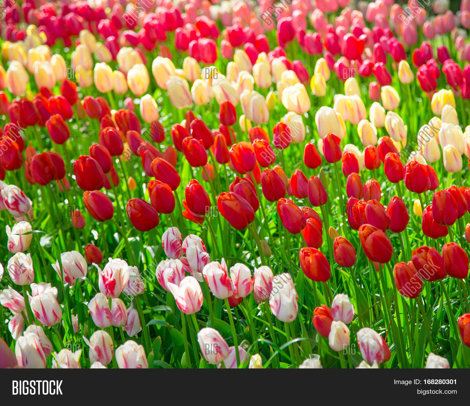 Flowers tulips glade red pink image photo bigstock flowers tulips glade of red pink and white fresh tulips colorful tulips in mightylinksfo Image collections