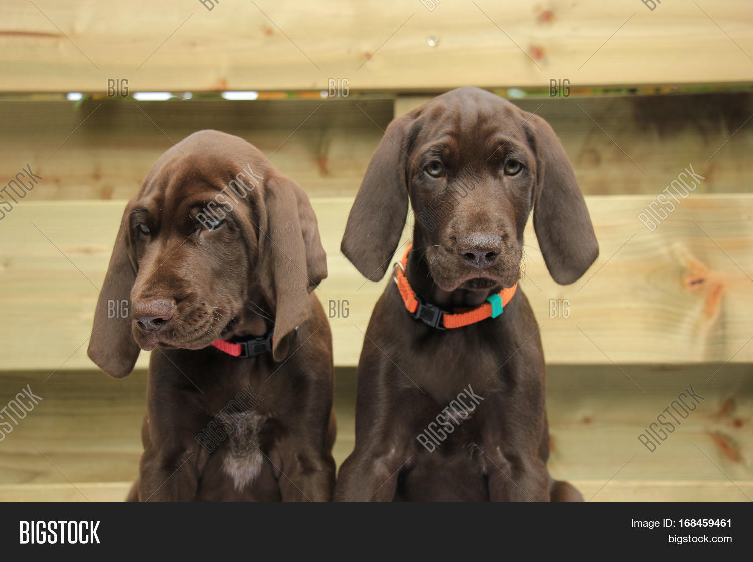 German Shorthaired Image Photo Free