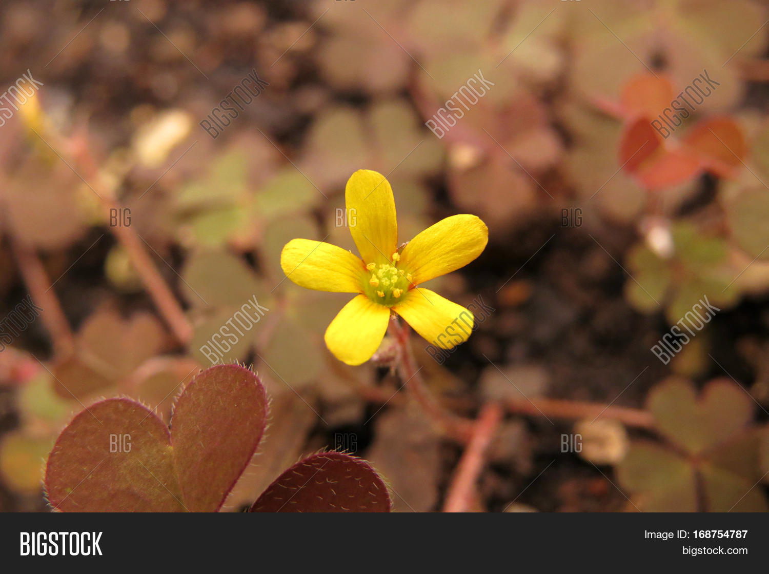 Yellow Clover Flower Image Photo Free Trial Bigstock