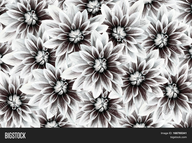 Flowers Dahlias Black Image Photo Free Trial Bigstock