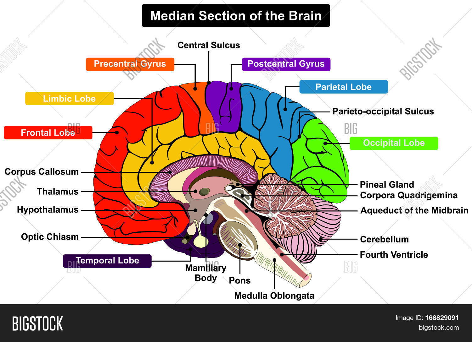 Median section human brain image photo bigstock median section of human brain anatomical structure diagram infographic chart with all parts cerebellum thalamus ccuart Images