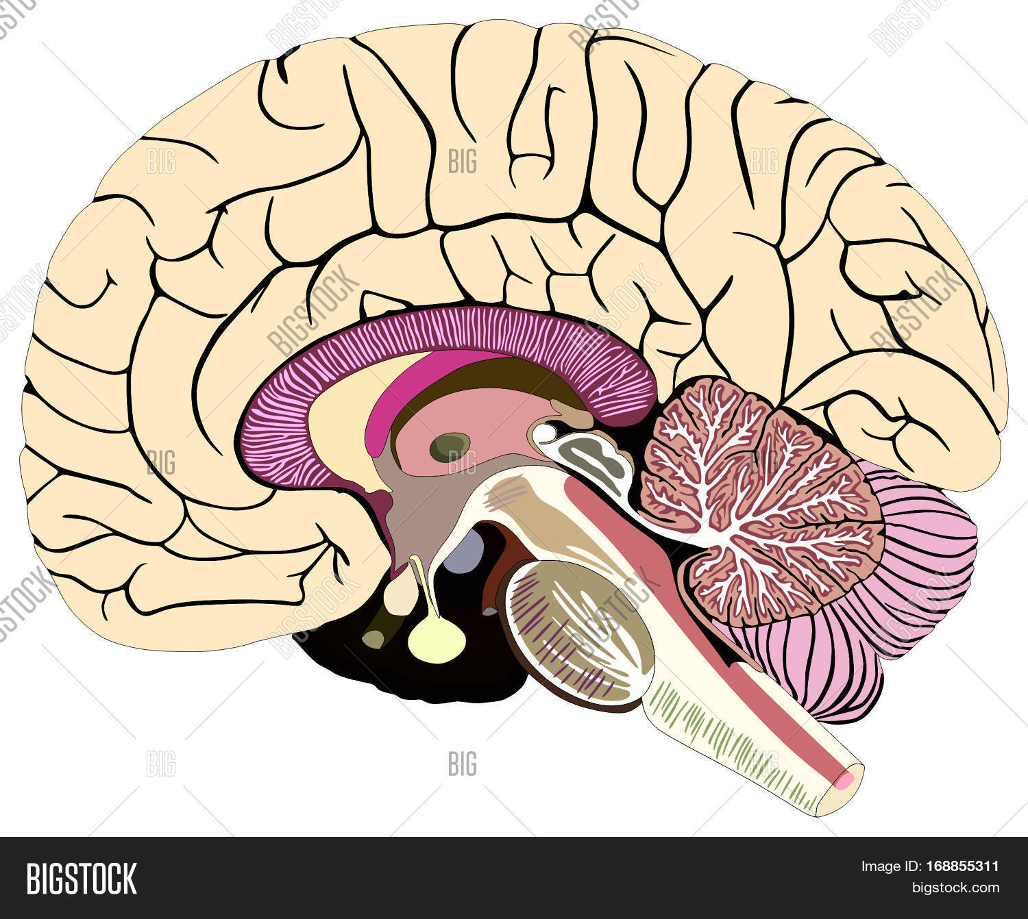 Median Section Human Image & Photo (Free Trial) | Bigstock