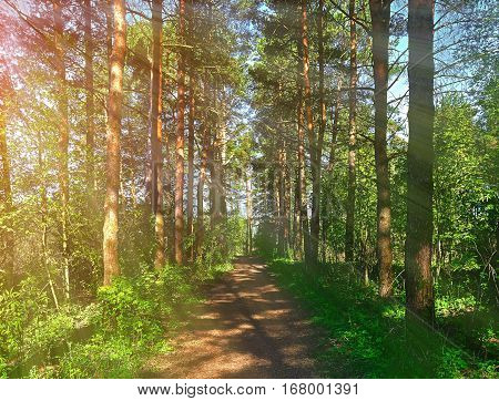 Forest spring landscape - row of pine spring forest trees and narrow path lit by soft spring sunlight. Forest spring nature. Spring forest natural landscape with forest trees