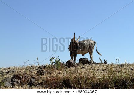 A Bull with long horns in Ethiopia