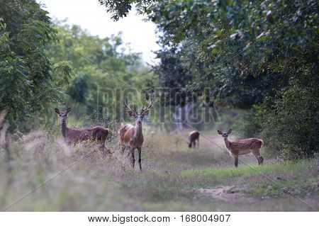 Red Deer Family In Forest
