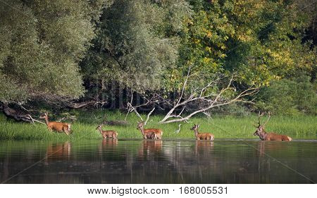 Red Deer And Hinds In River
