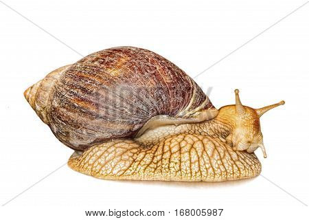Achatina snail isolated on white background with shadow taken closeup.