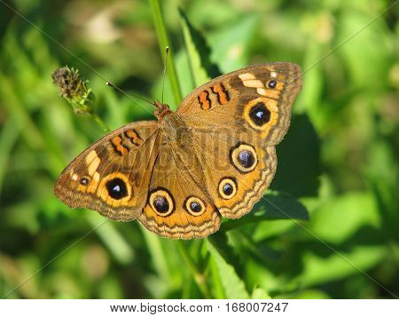 Mangrove Buckeye Butterfly on green plant background