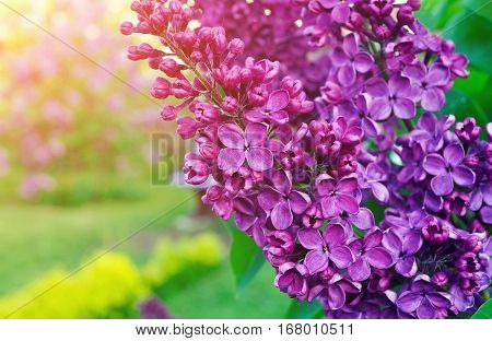 Lilac flowers spring floral background. Selective focus at the central spring lilac flowers. Lilac flowers at the spring blossom. Natural spring view of spring lilac flowers