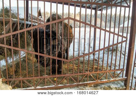 Bison behind a fence near the hay. Wild animals in captivity in the open air.