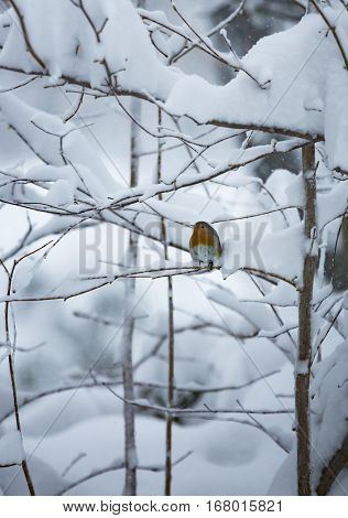 Robin on a snowy tree during winter