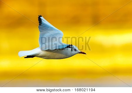 black headed gull in flight over colorful out of focus background ( Chroicocephalus ridibundus winter plumage )