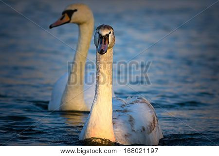 juvenile mute swan swimming on blue lake ( Cygnus olor )