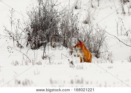 european red fox standing on snow ( Vulpes wild animal )