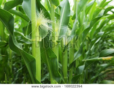 In the center of maize field. Macro shot of sprouts.