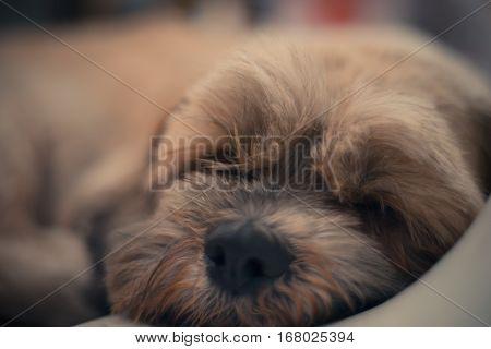 Close up of sleepy Shih Tzu dog