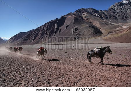 Delivery of goods in the beautiful colorful valley in Aconcagua National Park by mule