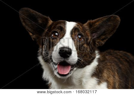 Close-up portrait of Brown with white Welsh Corgi Cardigan Dog, Happy face looking in camera on Isolated Black Background, front view