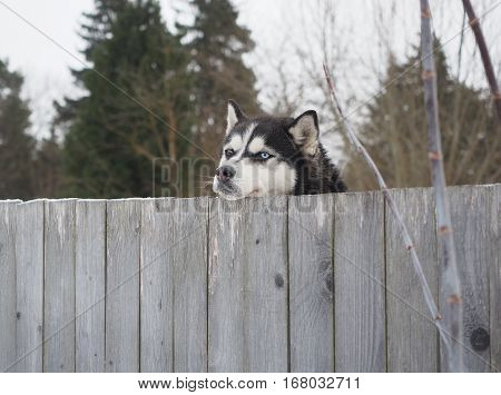 Spotted simple yard dog actively protects its territory and the home of the owners of the intruders and robbers as a true watchdog pedigree dog leaning on fence forepaws