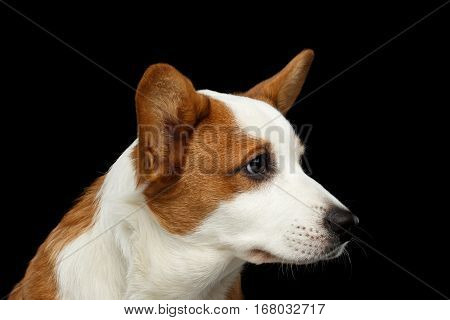 Close-up Portrait Red Welsh Corgi Cardigan Dog with cute face on Isolated Black Background, Profile view
