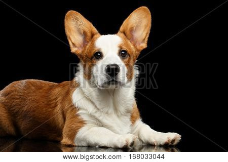 Red with white Welsh Corgi Cardigan Dog Lying with cute face and looking up on Isolated Black Background with reflection, side view