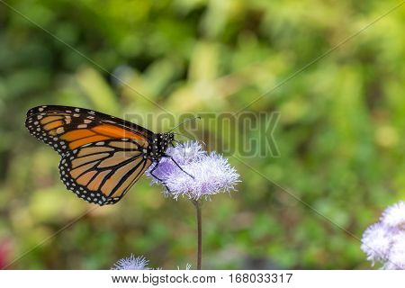 Monarch Butterfly Feeding on Nectar on Purple Flower in Garden Horizontal with Copy Space