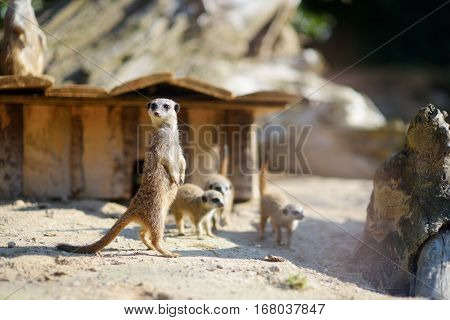 Funny Meerkat Standing Tall Waiting For Visitors In A Zoo