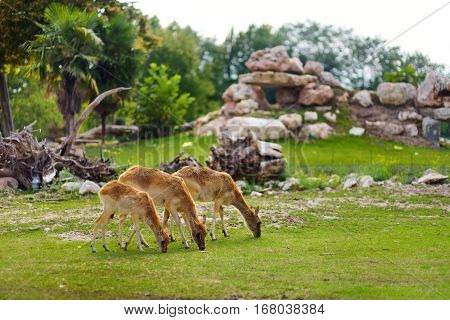Group Of Three Deers Feeding In Parco Natura Viva Zoo Near Garda Lake