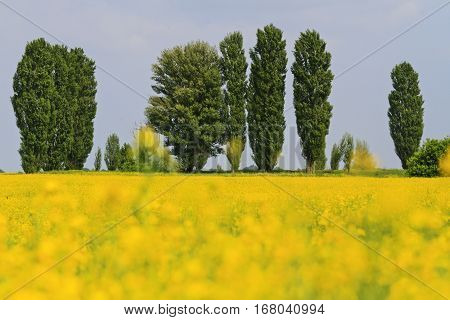 rapeseed field and green poplar, oilseeds, agricultural field, color landscape