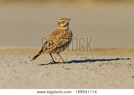 gray bird and a large shadow on the ground, Galerida cristata, wildlife, bird tufted, inconspicuous bird