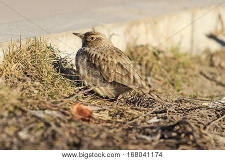 crest lark at the roadside, Galerida cristata, wildlife, bird tufted, inconspicuous bird