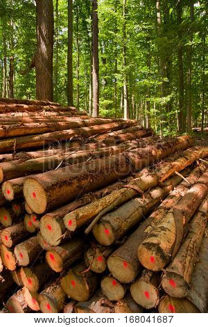a stack of laminated wood of coniferous trees in a Forest Landscape