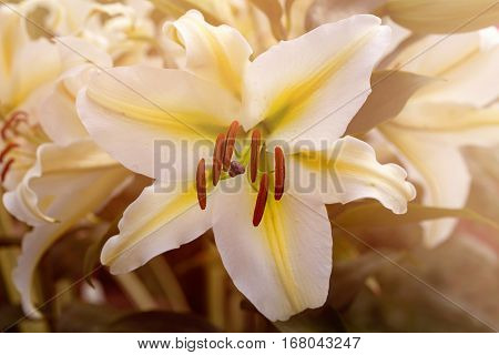 Closeup Of Lily Flower Petals And Pollination Organs