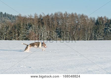 Running Staffordshire Bull Terrier In A Snow