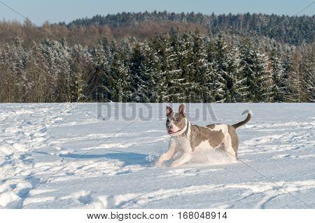 Running Staffordshire Bull Terrier