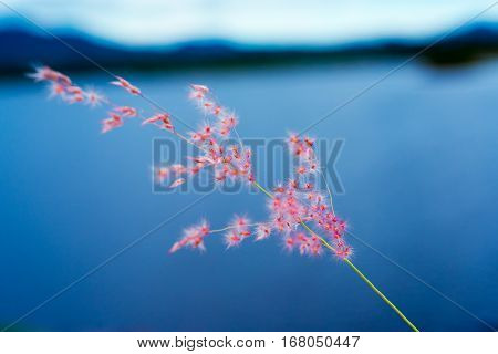 single feather grass in nature background ,thailand
