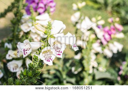 white salvia flowers , beauy in nature