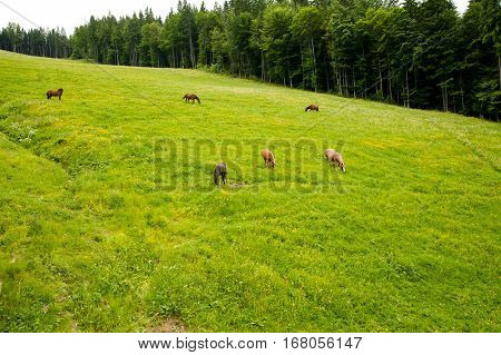 Beautiful horse on the summer pasture picturesque Carpathian Mountains