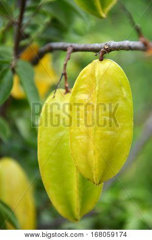 Starfruit On The Tree