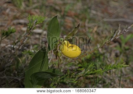 Cypripedium parviflorum, commonly known as yellow lady's slipper, moccasin flower, or hairy yellow lady slipper is an orchid found in North America. Shown in woods of Bruce Peninsula.