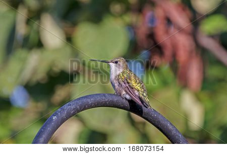 A hummingbird perched atop a shepherd's hook on a summer day.