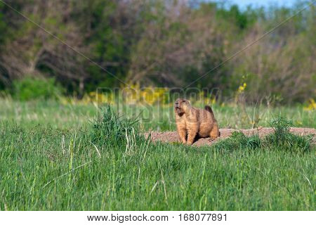 A wild marmot in nature in the field