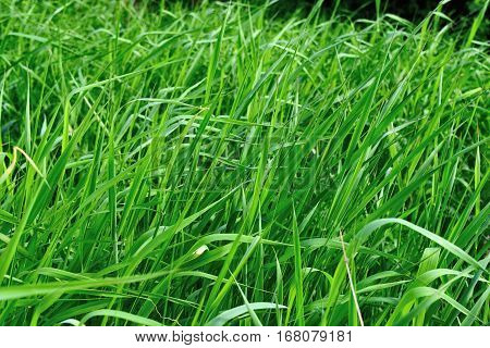 Bright long green grass summer background. Closeup