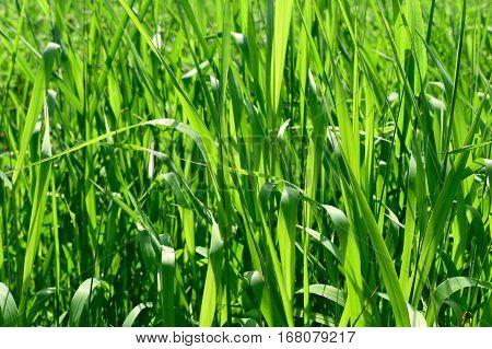 Long green grass in bright sunlight summer background.